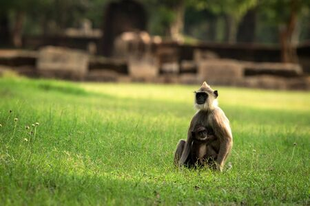 Gray langurs, sacred langurs, Indian langurs or Hanuman langurs in sacred city Anuradhapura, monkey sitting on grass with its baby, Sri Lanka, exotic adventure in Asia, ancient temple 免版税图像
