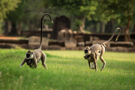 Gray langurs, sacred langurs, Indian langurs or Hanuman langurs in sacred city Anuradhapura, monkey running on grass, Sri Lanka, exotic adventure in Asia, ancient temple