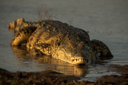 Portrait of nile crocodile (crocodylus niloticus) on riverbank with last light of day -Kruger National Park (South Africa), african reptile, exotic adventure in Africa, safari