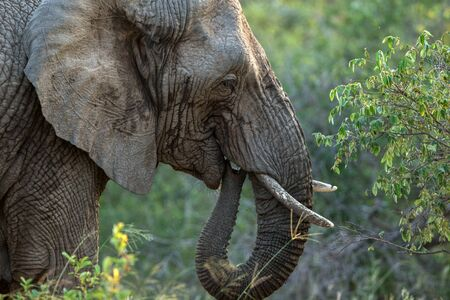 Portrait of a big beautiful elephant outdoors, wild animal, safari game drive, Eco travel and tourism, Kruger national park, South Africa, mammal in natural environment,african wildlife