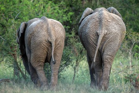 Two beautiful elephants in the savannah, wild animal, safari game drive, Eco travel and tourism, Kruger national park, South Africa, mammal in natural environment,african wildlife