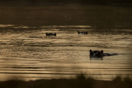 Partly submerged hippopotamus (Hippopotamus amphibius), or hippo, its eyes and ears only above the water in Krueger Park, South Africa, looking toward the camera at sunset, hippo family, Africa 免版税图像