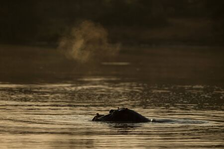Partly submerged hippopotamus (Hippopotamus amphibius), or hippo, its eyes and ears only above the water at sunset in Krueger Park, South Africa, Africa