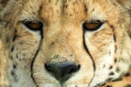 A vertical, colour photo close up portrait of cheetah, Acinonyx jubatus, Greater Kruger Transfrontier Park, South Africa, beautiful predator, big cat looking directly into the camera, safari adventure 版權商用圖片