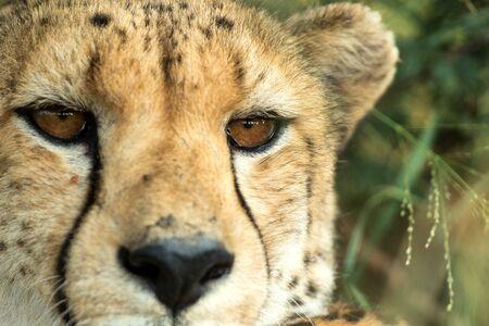 A vertical, colour photo close up portrait of cheetah, Acinonyx jubatus, Greater Kruger Transfrontier Park, South Africa, beautiful predator, big cat looking directly into the camera, safari adventure 免版税图像
