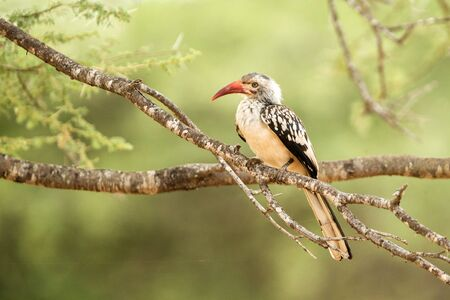Southern Yellow-billed Hornbill (Tockus leucomelas) Chobe National Park, Botswana, bird with big bill perching on tree with green leaves in background, safari in Africa, exotic adventure trip