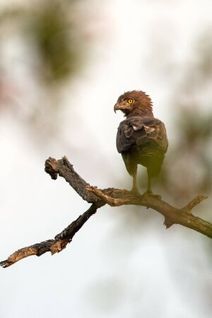 Eagle perching on tree, Chobe National Park, Botswana, raptor on tree with green leaves in background, searching for prey, safari in Africa, exotic adventure trip, family vacation