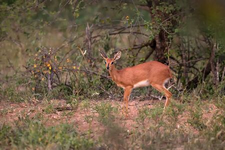 Steenbok - Raphicerus campestris, small shy beautiful antelope from African savannah and bushes, Etosha National Park, Namibia, wilderness of Africa