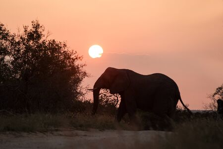 Silhouette of a big beautiful elephant at sunrise, wild animal, safari game drive, Eco travel and tourism, Zimbabwe, mammal in natural environment,african wildlife, elephant with rising sun