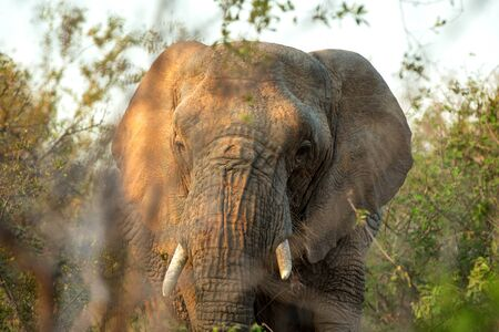 Portrait of a big beautiful elephant feeding on tree, wild animal, safari game drive, Eco travel and tourism, Kruger national park, South Africa, mammal in natural environment,african wildlife