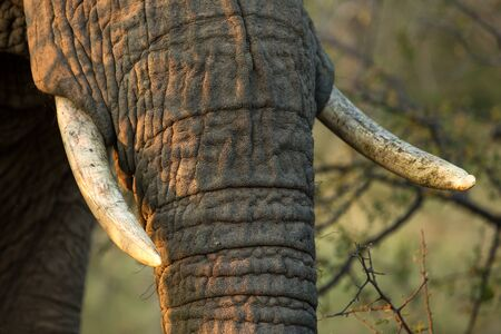 Portrait of a big beautiful elephant feeding on tree, wild animal, safari game drive, Eco travel and tourism, Chobe national park, Botswana, mammal in natural environment,african wildlife,tusks detail