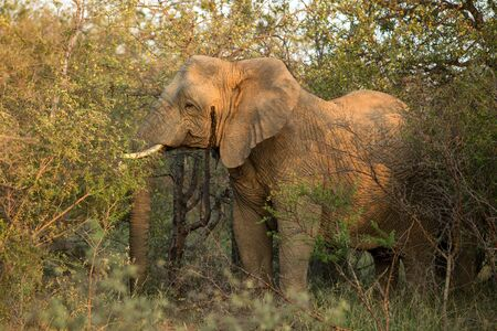 Portrait of a big beautiful elephant feeding on tree, wild animal, safari game drive, Eco travel and tourism, Kruger national park, Botswana, mammal in natural environment,african wildlife