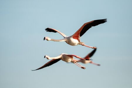 Flying Greater flamingo (Phoenicopterus roseus), Camargue, France, Pink bird on the blue sky. Action wildlife scene from nature. Nature travel in France.Flying Greater Flamingo, mediterranean vacation 免版税图像