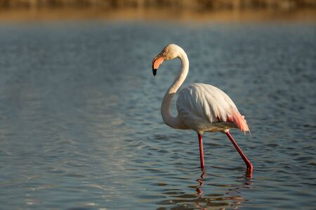 Greater flamingos (Phoenicopterus roseus) standing in water, Camargue, France, Pink birds, wildlife scene from nature. Nature travel in France. Flamingo with clear background, mediterranean vacation 免版税图像