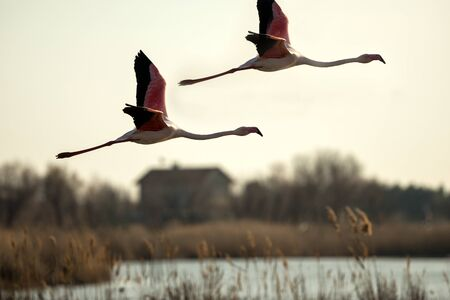Flying Greater flamingo (Phoenicopterus roseus),Camargue, France, Pink bird on the blue sky at sunrise.Nature travel in France.Flying Greater Flamingo, mediterranean vacation, vegetation in background