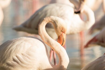 Greater flamingos (Phoenicopterus roseus), close up portrait, Camargue, France, Pink birds, wildlife scene from nature. Nature travel in France. Flamingo with clear background, mediterranean vacation 免版税图像