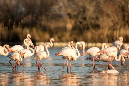 Flock of Greater flamingos (Phoenicopterus roseus), Camargue, France, Pink birds, wildlife scene from nature. Nature travel in France. Flamingo with vegetation in background, mediterranean vacation 免版税图像