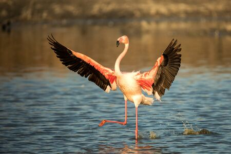 Greater flamingo (Phoenicopterus roseus) running in water with outstretched wings, Camargue,Pink birds, wildlife scene from nature. travel in France. Flamingo clear background, mediterranean vacation 免版税图像