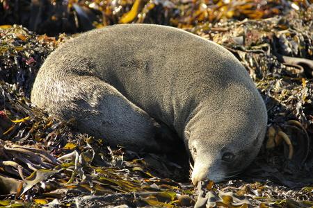 lieing: Cute fur seal relaxing between seaweed.