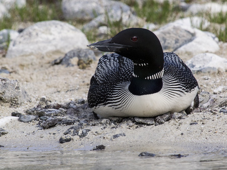 Common loon nesting on the shore of a lake photo