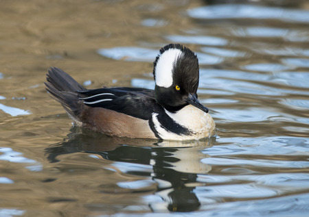 Hooded merganser duck floating in a wavy pond photo