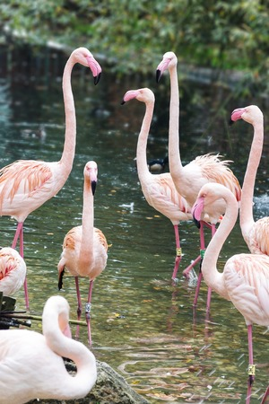 Courting pink flamingos in the group in the middle of lake photo