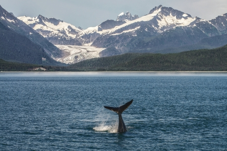 Baby Humpback diving in front of Glacier