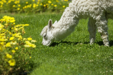 Baby lama feeding on grass surrounded with yellow flowers.  photo