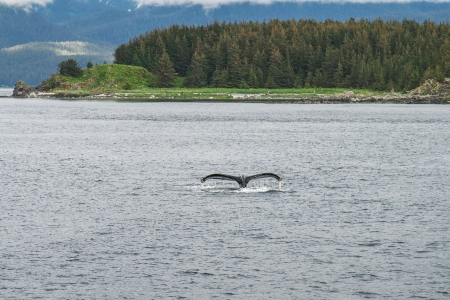 Humpback whale diving in front of the trees photo