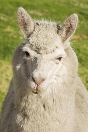 Close up of lama laying on the grass, Arequipa, Peru photo