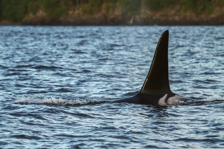 Detail of orca Stock Photo - 31284933