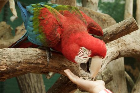 papagayo: Alimentar Ara Macao loro de la mano