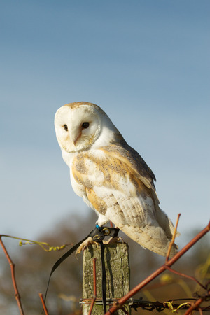 pecker: Beautiful barn owl on a post during a sunset