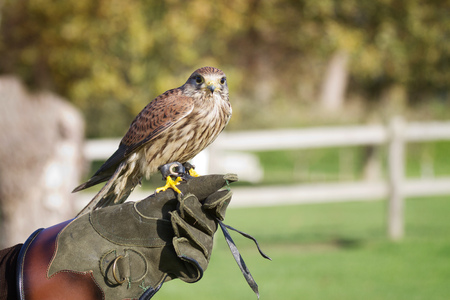 pecker: Trained hawk, used in the sport of falconry, stands perched on the trainers gloved hand.