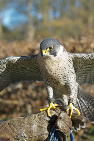 falco peregrinus: Trained Peregrine Falcon (Falco peregrinus), used in the sport of falconry, stands perched on the trainers gloved hand.