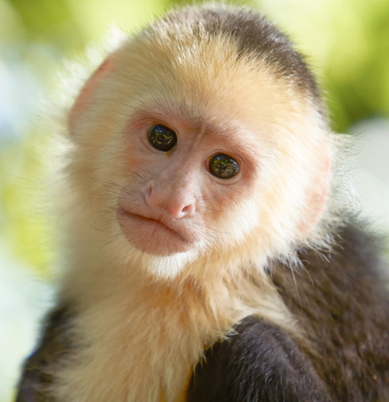white headed: Close-up portrait of white headed capuchin monkey in a forest of Honduras Stock Photo