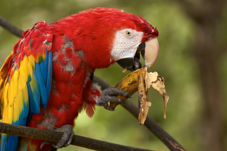Old red macaw parrot sitting on a branch and eating a banana. Stock Photo
