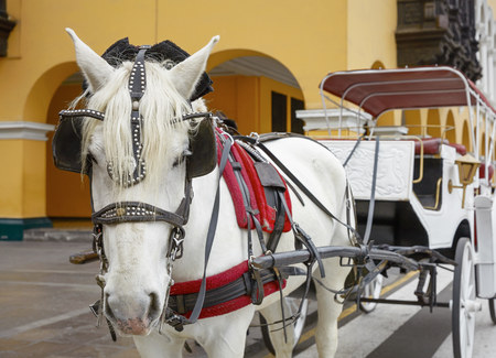 Traditional Horse-Drawn Vehicle in Lima, Peru. A Beautiful White Horse Hitched to a Four Wheel Carriage.