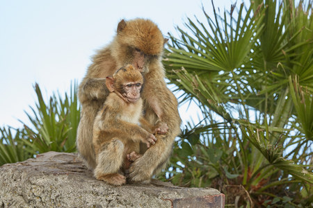 The Barbary Macaque monkeys of Gibraltar. The only wild monkey population on the European Continent. At present there are 300+ individuals in 5 troops occupying the Gibraltar nature reserve.It is one of the most famous attractions of the British overseas territory.