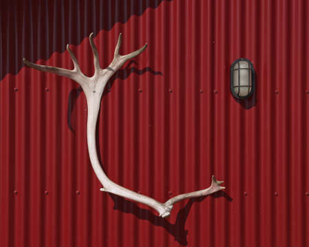 Antlers as a hunting trophy hanged on a red cabin wall.