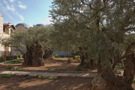Old olive trees in the garden of Gethsemane next to the Church of All Nations. Famous historic place in Jerusalem, Israel.