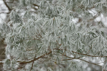 Branches of frozen bushes covered by snow iduring the winter in Czech republic. Stock Photo