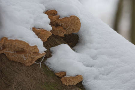 Close-up of a rotten stump with tree mushrooms covered by snow on a horizontal trunk during a winter in Czech republic. Stock Photo