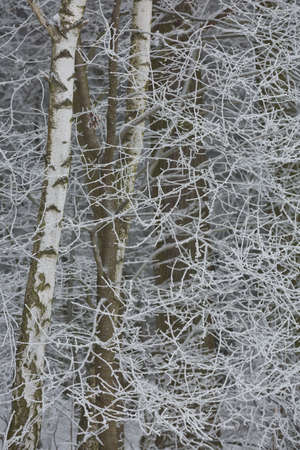 Snowy winter forest background. Beautiful spruce trees trunks pattern, sticked with snow in Czech republic.