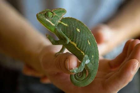 Chameleon in hand