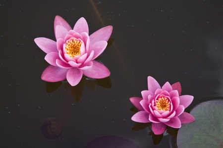 Two pink water lilies Stock Photo