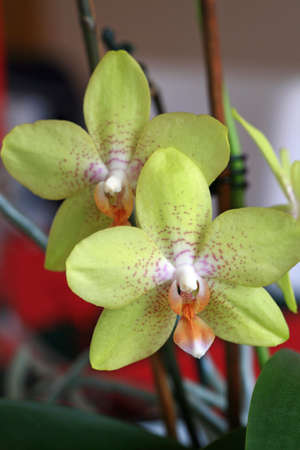 Two blossoms of Phalaenopsis Stock Photo