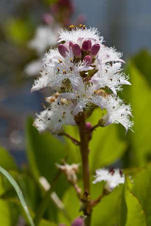 Flower of waterflower