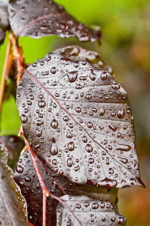 Detail of deep red leaf of beech with small dots dew