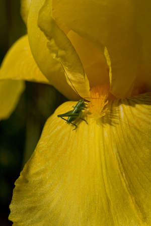 Detail of small green grass-hopper on the yellow petal of iris Stock Photo